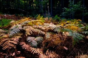 Autumnal fern Photo