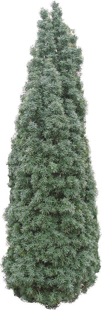 Coniferous Tree 22 Free Texture Download By 3dxo Com