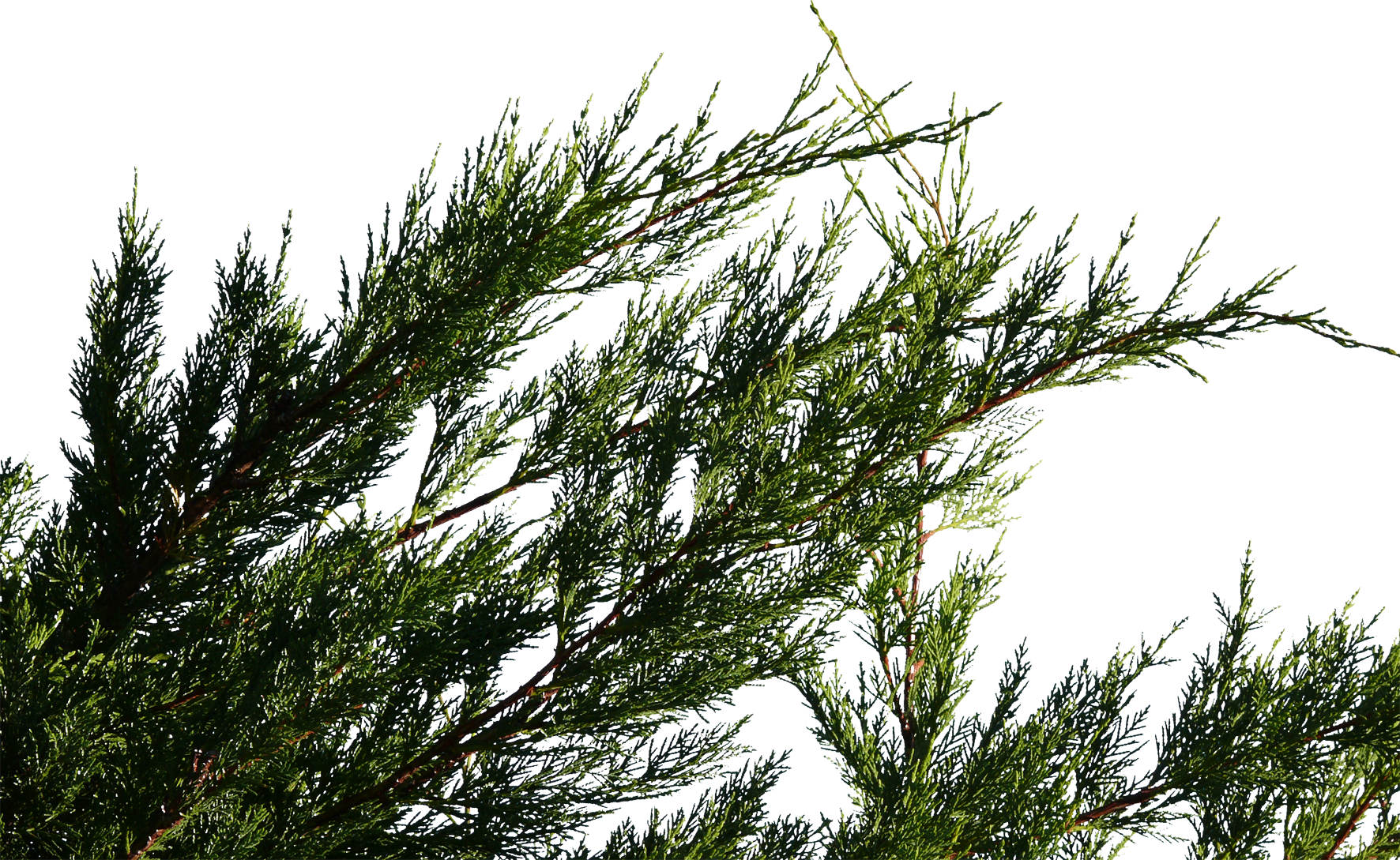 conifer branch 01 free texture download by 3dxo com