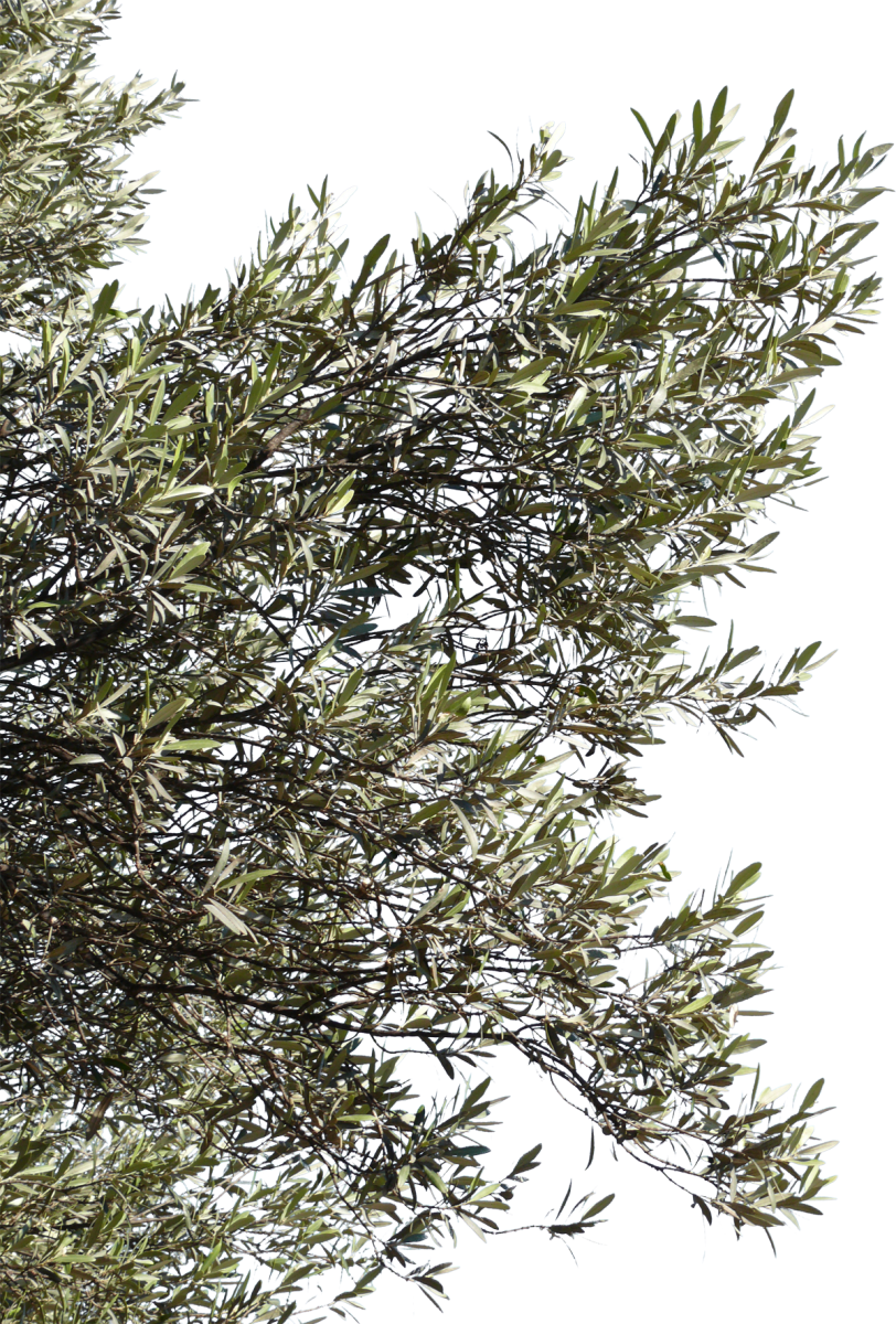 olive branch 06 free texture download by 3dxo com
