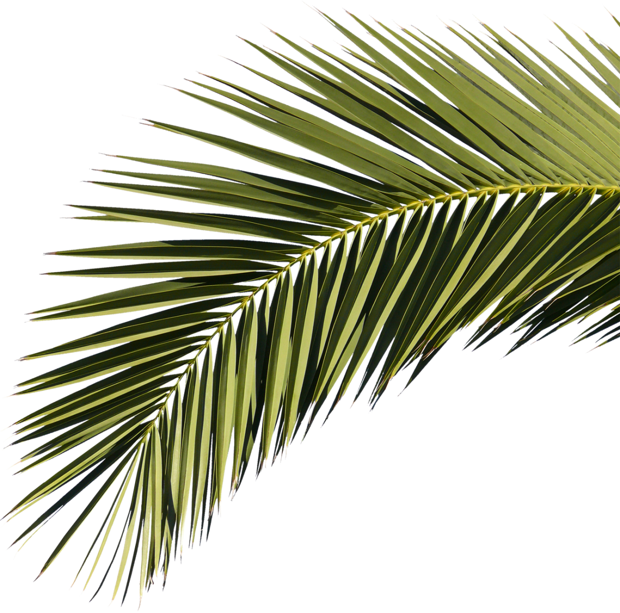 Palm Branch 06 Free Texture Download By 3dxo Com