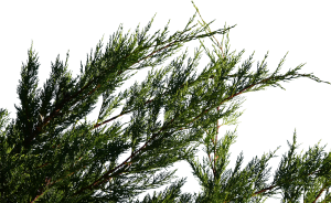 Conifer Branch 01 Texture